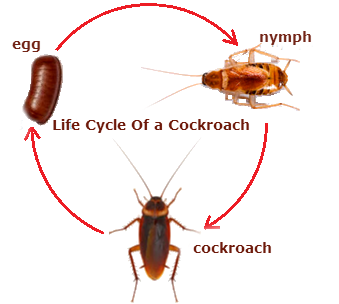 life cycle of a cockroaches